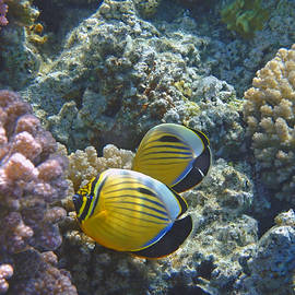 Johanna Hurmerinta - Beautiful Exquisite Butterflyfish couple in the Red Sea 2