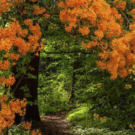 Beautiful Garden Canopy of Azaleas - Mike Reid
