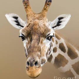 Linsey Williams - Beautiful Giraffe
