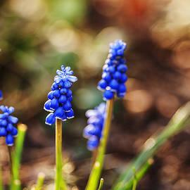 Vishwanath Bhat - Beautiful Grape Hyacinth