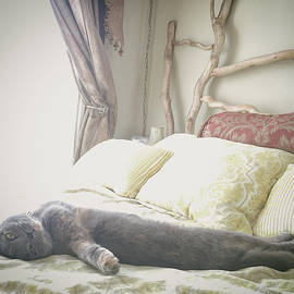 Bradley Hebdon - Beautiful gray Scottish Fold cat relaxing on a bed