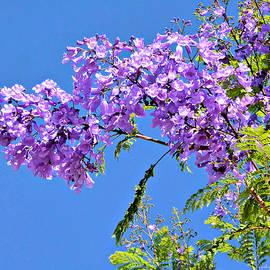 Barbara Zahno - Beautiful Jacaranda Tree