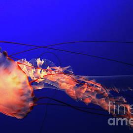 Christopher Christoforou Shiny Soul - Beautiful Jellyfish