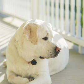 Diane Diederich - Beautiful Labrador Retriever