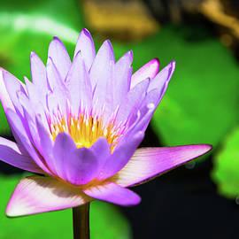 Nadezhda Tikhaia - Beautiful Lilac Lotus