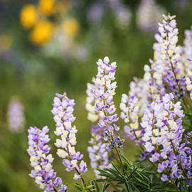 Vishwanath Bhat - Beautiful Lupines Blooming in Boise Hills Boise Idaho USA