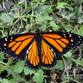 Joseph Baril - Beautiful Monarch Butterfly
