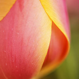 Vishwanath Bhat - Beautiful pink and yellow tulip closeup