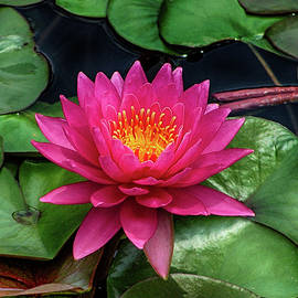 Don Columbus - Beautiful Pink Water Lily