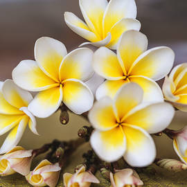 Vishwanath Bhat - Beautiful Plumeria or Frangipani flowers