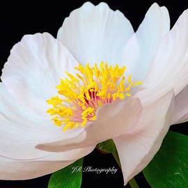 Jeannie Rhode Photography - Beautiful White Peony
