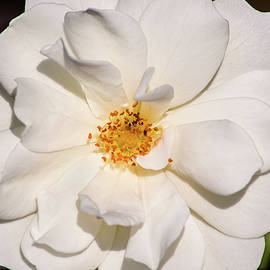 Don Johnson - Beautiful White Rose