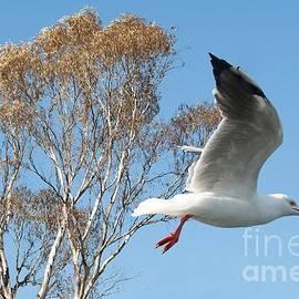 Geoff Childs - Beautiful Australian Seagull. Exclusive Photo Art.