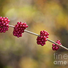 Carol Groenen - Beautyberry with Bokeh