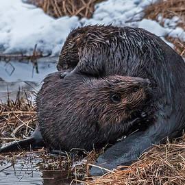 Steve Dunsford - Beavers Grooming