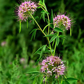 Bijan Pirnia - Bee Plant