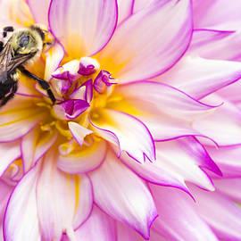 Daphne Sampson - Bee Still Dahlia Flower