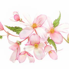 Jacky Parker - Begonia