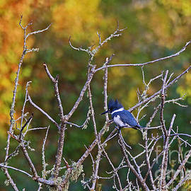 Craig Corwin - Belted Kingfisher Hunting