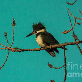 Robert Frederick - Belted Kingfisher - Male