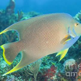 Anthony Totah - Bermuda blue angelfish - Holacanthus bermudensis