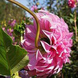 Baslee Troutman Floral Fine Art - Big Dahlia Flower Fine Art Photography
