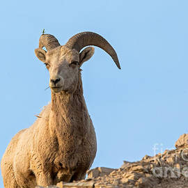 Natural Focal Point Photography - BigHorn Ram