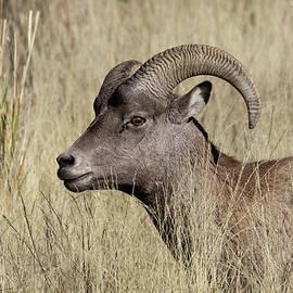 Kathleen Bishop - Bighorn Ram Portrait