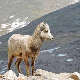 Connor Beekman - Bighorn Sheep