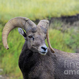 Hughes Country Roads Photography - Bighorn Sheep