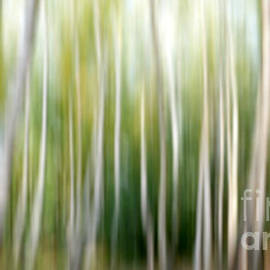 Birch abstract - SK Pfphotography