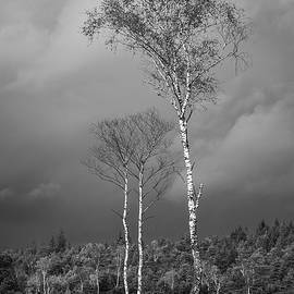 Alexander Kunz - Birches and Approaching Rain 2 - black and white