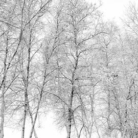 Scott Thorp - Birches in the snow