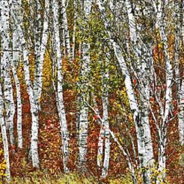 Laura Mace Rand - Birches