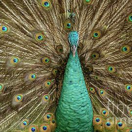 Werner Padarin - Peacock