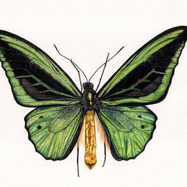 Birdwing Butterfly - Rachel Pedder-Smith