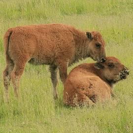 Steve McKinzie - Bison Calves