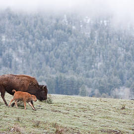 Max Waugh - Bison with Calf