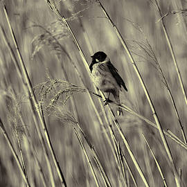 Leif Sohlman - black and white Common Reed Bunting