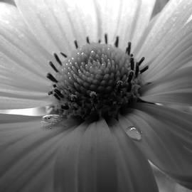 David T Wilkinson - Black and White Daisy