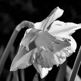 Leif Sohlman - black and white monochrome Daffodil spring 2014.