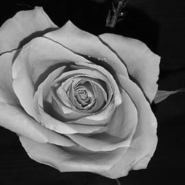 Frances Lewis - Black and white rose