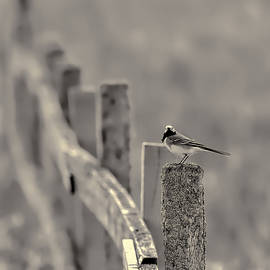 Leif Sohlman - Black and white standing White wagtail