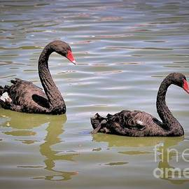 Diann Fisher - Black Beauty Swan Lake