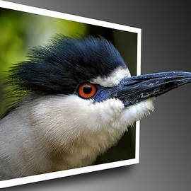 Bill Swartwout - Black Crowned Night Heron Out Of Bounds