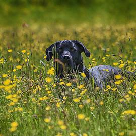 Mick Gosling - Black Labrador in the Buttercups.