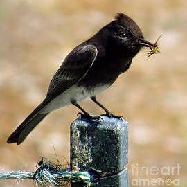 Jennie Breeze - Black Phoebe