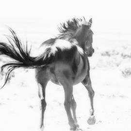 Jerry Cowart - Black Stallion Wild Horse