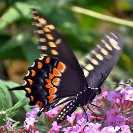 Kim Bemis - Black Swallowtail 5