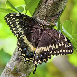 Dawn Currie - Black Swallowtail